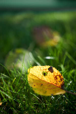 Yellow autumn apple tree leaf translucent, selective focus on green grass. Closeup shot of apple tree leaf on green grass in autumn. Autumn leaf fall. Beautiful yellow leaf over out of focus lawn.