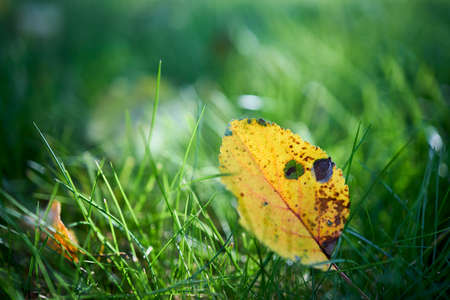 Yellow autumn apple tree leaf translucent, selective focus on green grass. Closeup shot of apple tree leaf on green grass horizontal. Autumn leaf fall. Beautiful yellow leaf over out of focus lawn.