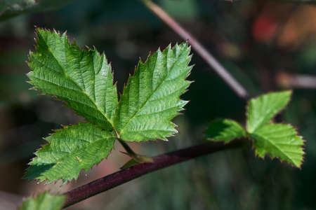 BlackBerry bramble dewberry leaves selective focus in fall sun. Closeup shot of BlackBerry leaf on branch horizontal. Floral background with copyspace. Standard-Bild