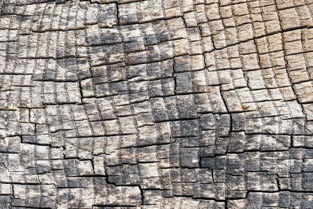Cross section of ash tree gray elm oak porous stump burnt gray and weathered with small pores in annual rings with square rectangular mosaic cracks. Concept of trypophobia.