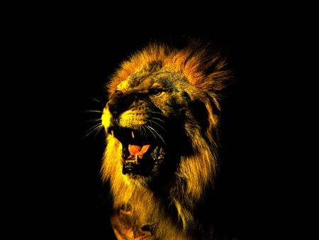 tawny: Head of lion on black background