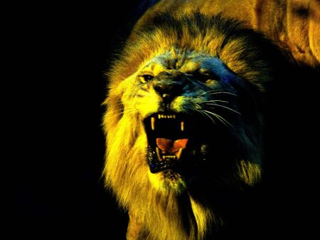 roaring lion  on a black background photo