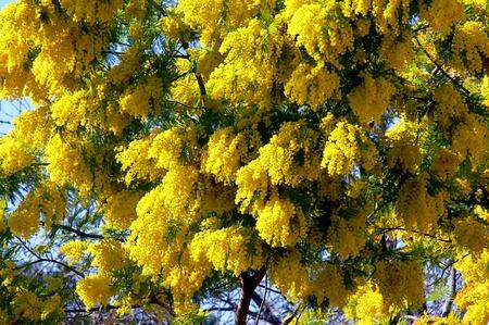 mimosa: Mimosa tree in bloom   Stock Photo
