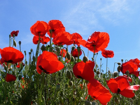 poppies (3) photo