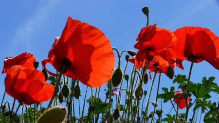 poppies (5) photo