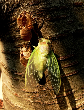 Birth of a cicada   photo