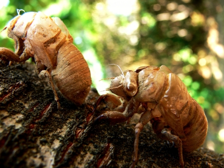 two empty shells after molt of cicadas photo
