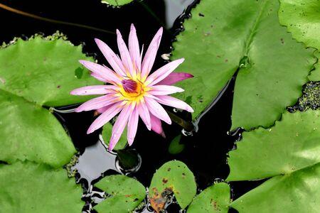 Pink lotus flower on a pond Banque d'images - 132059651