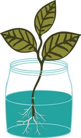 House plant cutting propagation in water. Branch with leaves rooting in a jar vector illustration.