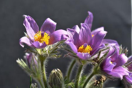 pasqueflower: Blue pasque-flower   Stock Photo