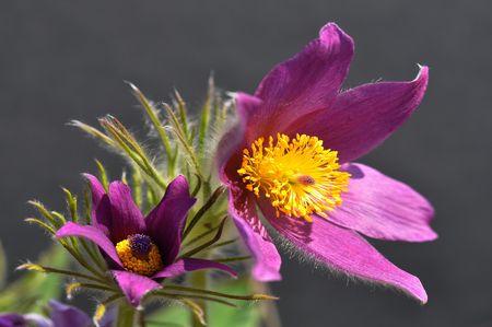 Blue pasque-flower Stock Photo - 7138916