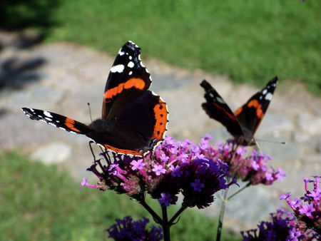 Red Admiral butterflies on flower photo