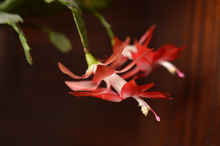 Red Christmas cactus flower