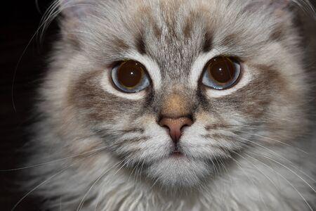Young and cute Neva Masquerade Siberian cat close up face photo