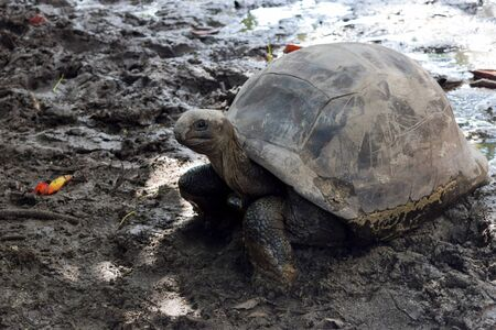 Conditionally young tortoise walking in the mud in Seychelles, Praslin island Stock Photo