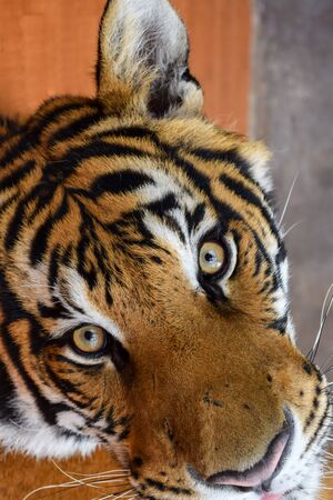 Beautiful portrait of Asian Tiger in Vietnam