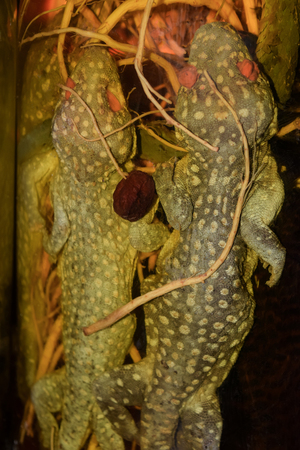 Geckos in alcohol jar. Animals held in jars with alcohol, ginger and other roots used in medicine or drink preparation in Vietnam. Jars has to stay in dark cool place at least ten years to begin consumption it