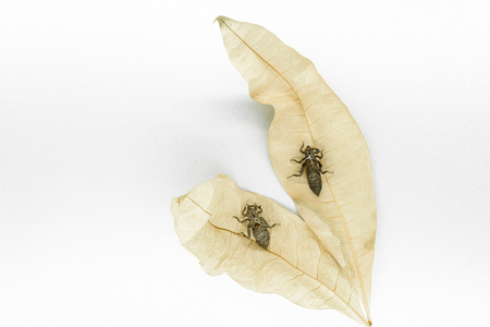 Two dry and abandoned dragonfly cocoons sitting on dry yellow leaves on white background surface