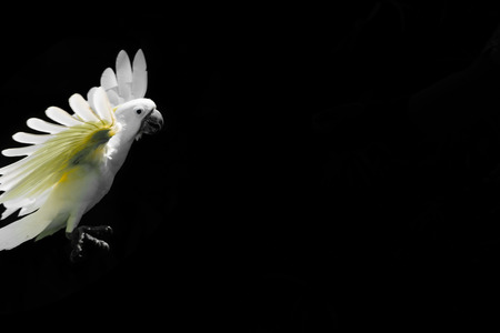 Flying white Sulphur-crested cockatoo isolated on black background with free space
