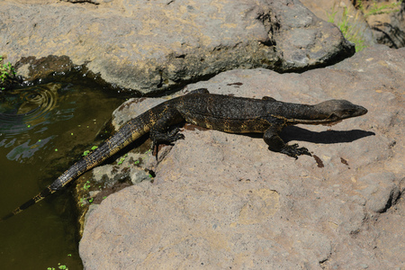 Asian water monitor lizard walking from water to rocky land in Bali, Indonesia