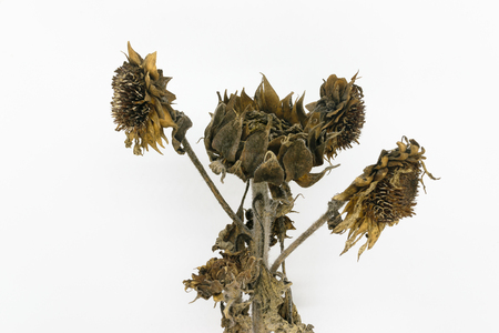 Frozen and dried sunflower blossoms on white background