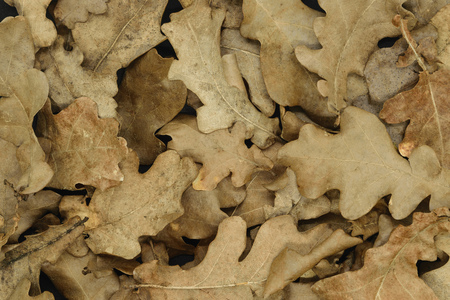 Autumn concept. Dry brown oak tree leaf background Stock Photo