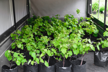 Grape seedlings planted in black plastic bags and displayed on a trailer in the market