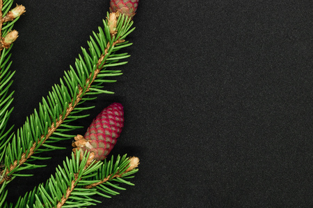 Young red cones of green spruce on black background with copy space