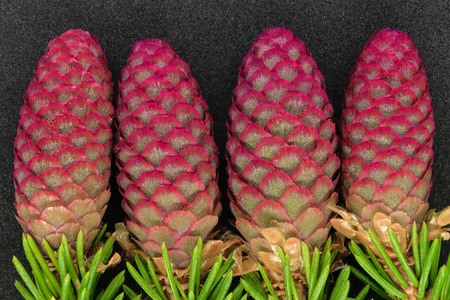Young red cones of green spruce on black background 写真素材