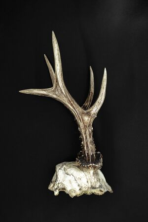 Very old and dusty young deer antlers with the part of skull on black background Stock fotó
