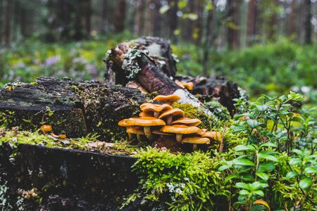 Bunch of wet yellow mushrooms growing on old and covered with moss tree stump in the middle of the woods during early autumn time