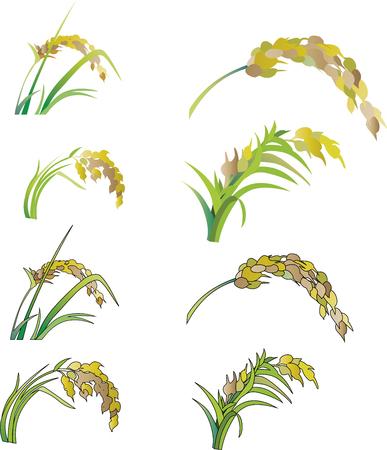 Rice illustration Illusztráció