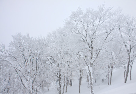 Blizzard covered trees in winter Japan