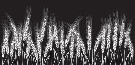 Wit tarwegebied dat op zwarte achtergrond wordt geïsoleerd. Set van tarwe oren. Achtergrond voor boerderijen en bakkerijen. Verzameling elementen voor bedrijfslogo's, printproducten, pagina- en webdecor of ander ontwerp.