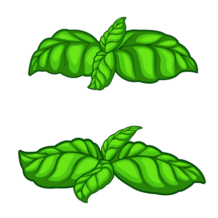 Fresh green basil herb leaves isolated on white background. Top view. Food background.