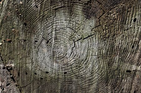 Cross section of tree trunk showing growth rings. Texture cut wood. Gray wood background. Close-up