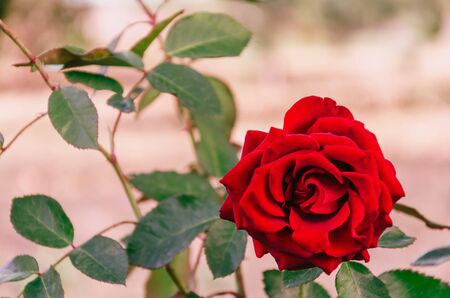 Single beautiful blooming red rose. Outdoors. Close-up