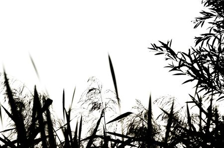 Reed silhouettes isolated on white background. Natural black and white floral background. Selective focus