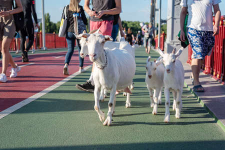 White goats walking on the pedestrian bridge in the city center. Goat family among people in touristic place