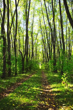 Earth Road in Summer Forest Stock Photo - 5711355
