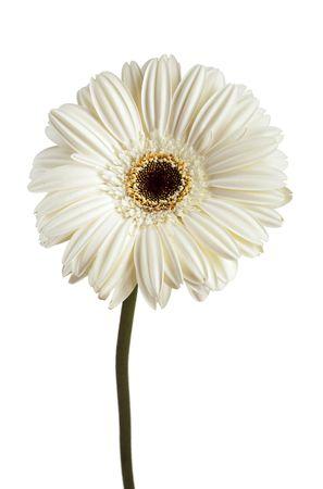 Daisy Gerbera des blancs sur fond blanc