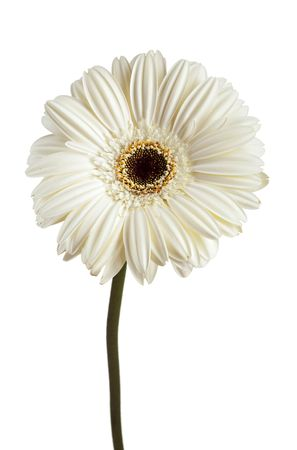 White Gerbera Daisy over White Background Stock Photo