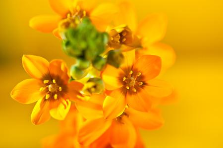 dubium: Ornithogalum Dubium over Yellow Background Stock Photo