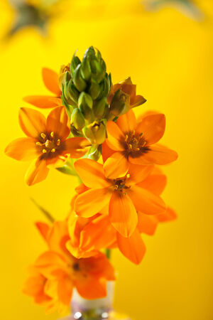 ornithogalum: Ornithogalum Dubium over Yellow Background Stock Photo