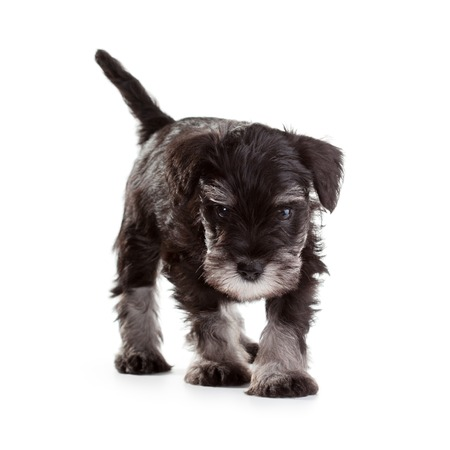 over white background: Miniature Schnauzer Puppy over White Background Stock Photo