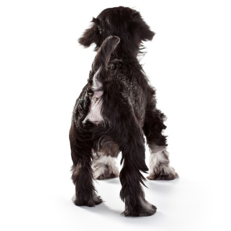 baby ass: Miniature Schnauzer Puppy over White Background Stock Photo