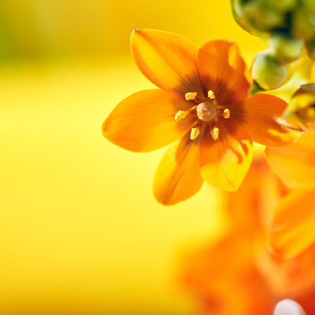 Yellow Ornithogalum Dubium Flower over Yellow Background. SUn Tropical Concept Stock Photo