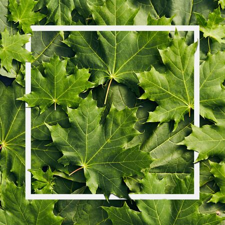 Green Leaves Background - Maple Tree Leaves with white frame close up. Canada Maple Leaves Top View. Nature Flat Lay