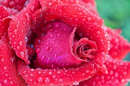 dew on a petal of a red rose