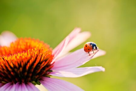 ladybird on flower photo